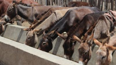 Chinese Investors Open Slaughterhouse to Export Donkey Meat from Ethiopia