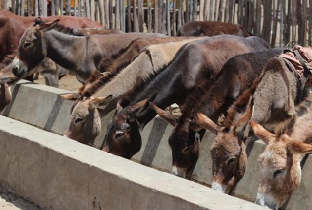 Chinese Investors Open Slaughterhouse to Export Donkey Meat from