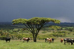 dairy farm uganda
